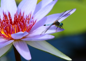 dragonfly-lily